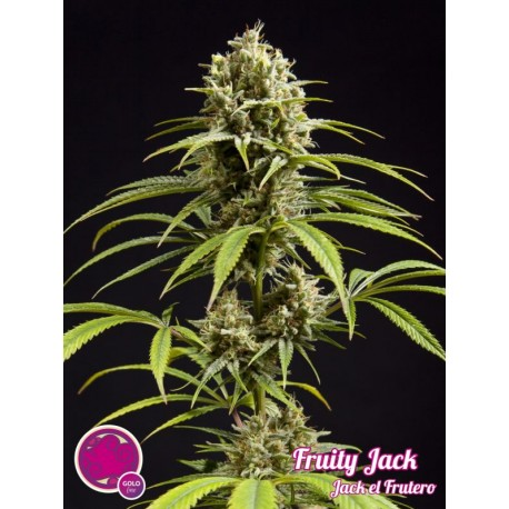 FRUITY JACK / JACK EL FRUTERO PHILOSOPHER SEEDS