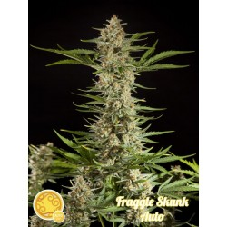FRAGGLE SKUNK AUTO PHILOSOPHER SEEDS