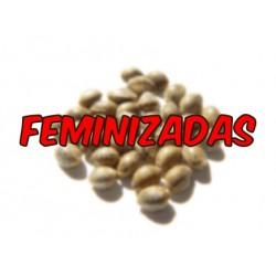 SEMILLA FEMINIZADA