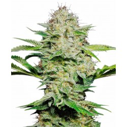 SENSI SEEDS SENSI SKUNK AUTOMATIC