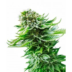 SENSI SEEDS NORTHERN LIGHTS AUTOMATIC