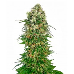 SENSI SEEDS SHIVA SKUNK AUTOMATIC