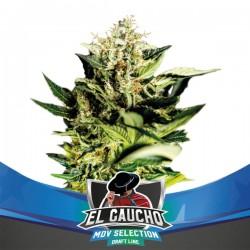 EL GAUCHO FAST FLOWERING