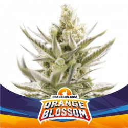 ORANGE BLOSSOM XXL AUTO