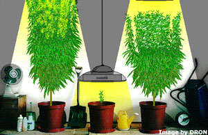 simulador de cultivo de la marihuana